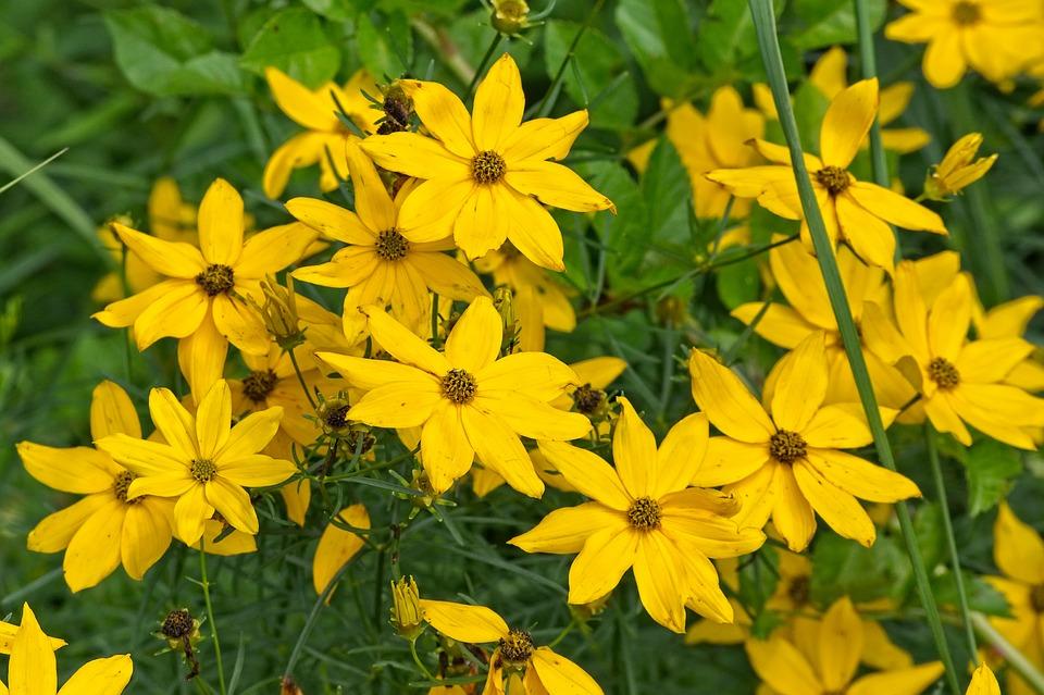žluté květy topinamburu