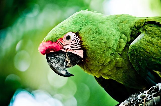 karibský papoušek