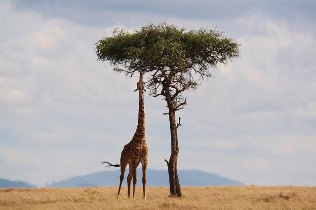 žirafa pod stromem.jpg